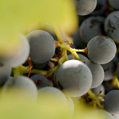 Vignes & Cépages